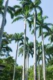 Árboles de coco altos y alineados en un parque Foto de archivo