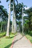 Árboles de coco altos y alineados en un parque Imagen de archivo libre de regalías