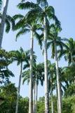 Árboles de coco altos y alineados en un parque Imágenes de archivo libres de regalías