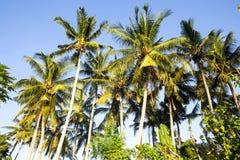 Árboles de coco con las nueces, Nusa Penida, Indonesia Fotos de archivo libres de regalías