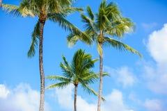 Árboles de coco contra los cielos azules hermosos Configuración tropical Fotografía de archivo libre de regalías