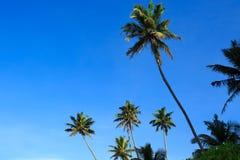 Árboles de coco debajo del cielo azul Imagen de archivo libre de regalías
