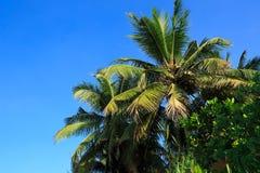 Árboles de coco debajo del cielo azul Imagen de archivo
