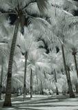 Árboles de coco del albino Fotografía de archivo libre de regalías