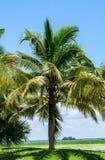 Árboles de coco en el parque Foto de archivo
