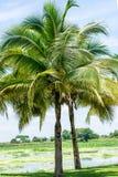 Árboles de coco en el parque Imagenes de archivo
