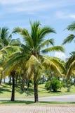 Árboles de coco en el parque Imagen de archivo