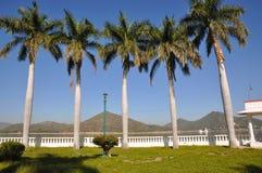 Árboles de coco en fila Imagenes de archivo