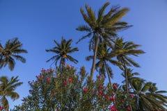 Árboles de coco en la isla de Mauricio Foto de archivo libre de regalías