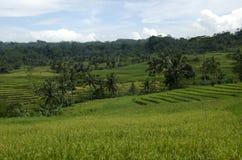 Árboles de coco en los campos colgantes del arroz Imagen de archivo libre de regalías