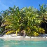 Árboles de coco enormes en la playa Foto de archivo libre de regalías