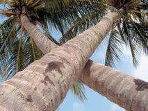 Árboles de coco X Imagen de archivo