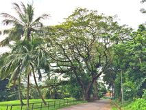 Árboles de coco y árbol de lluvia Fotos de archivo libres de regalías