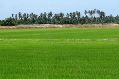 Árboles de coco y campo de arroz Foto de archivo libre de regalías
