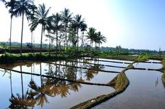 Árboles de coco y campos del arroz fotografía de archivo libre de regalías