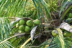 Árboles de coco y coco Fotos de archivo