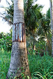 Árboles de Coconut del guardia imagen de archivo