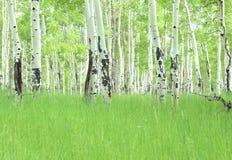 Árboles de Colorado Aspen fotografía de archivo