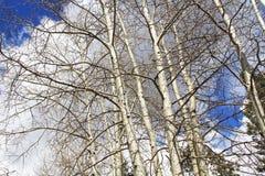 Árboles de corteza blancos en Ski Valley Mt Lemmon Fotos de archivo libres de regalías