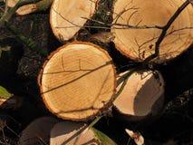 Árboles de Cutted para el retiro para la leña foto de archivo