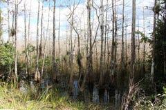Árboles de Cypress Foto de archivo