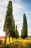 Árboles de Cypress Fotografía de archivo