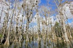 Árboles de Cypress calvo, distichum del Taxodium, pantano, marismas parque nacional, la Florida, los E.E.U.U. foto de archivo libre de regalías