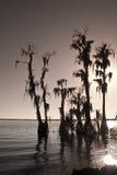 Árboles de Cypress con el musgo Foto de archivo libre de regalías