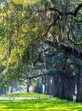 Árboles de Cypress del verano en Charleston South Carolina Foto de archivo