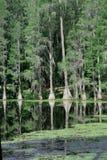 Árboles de Cypress en el suwannee fotografía de archivo