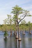 Árboles de Cypress en pantano Imágenes de archivo libres de regalías