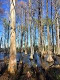 Árboles de Cypress en un pantano triste Fotos de archivo