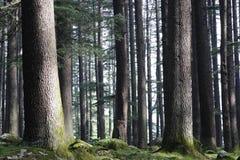 Árboles de Deodara Fotografía de archivo libre de regalías