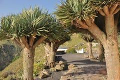 Árboles de dragón en las islas Canarias imagenes de archivo