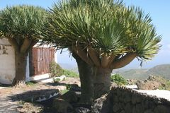 Árboles de dragón en las islas Canarias, España Imagen de archivo