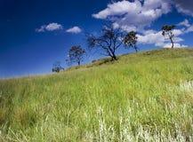 Árboles de Drakensberg Imagen de archivo