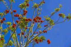 Árboles de Erythrina (coral) en flor rojo durante día soleado claro adentro Foto de archivo libre de regalías