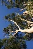 Árboles de eucalipto imágenes de archivo libres de regalías