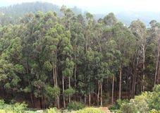 Árboles de eucalipto Imagen de archivo libre de regalías