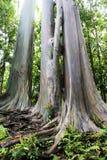 Árboles de eucalipto coloridos en Maui Fotografía de archivo libre de regalías