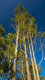 Árboles de eucalipto contra el cielo azul imagenes de archivo