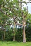 Árboles de eucalipto del arco iris Imagen de archivo libre de regalías