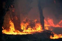 Árboles de eucalipto en el fuego Imágenes de archivo libres de regalías