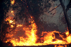 Árboles de eucalipto en el fuego Fotos de archivo