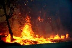 Árboles de eucalipto en el fuego Fotos de archivo libres de regalías