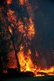 Árboles de eucalipto en el fuego Foto de archivo libre de regalías