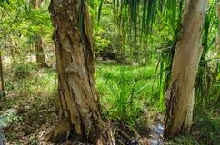 Árboles de eucalipto en el parque nacional de Hillsborough del cabo Fotografía de archivo libre de regalías