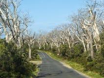 ÁRBOLES DE EUCALIPTO - GRAN CAMINO DEL OCÉANO, AUSTRALIA Imagen de archivo libre de regalías