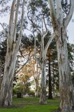 Árboles de eucalipto por la mañana Sun fotografía de archivo libre de regalías