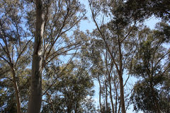 Árboles de Eucaliptus Fotografía de archivo